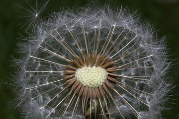 Close up of a round dandelion, with some seeds missing to expose a circle of the creamy white center.  Seeds are shown in great detail, with their feathery parachutes creating a white fluffy circle