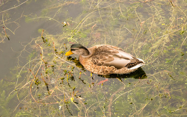 A duck is eating weeds in water
