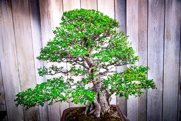 bonsai tree , Catlin Elm