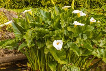 the acquatic white  calla lily  known as zantedeschia aethiopica callas in a pond