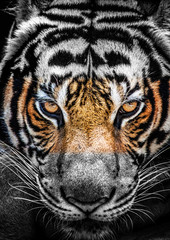Eyes of tiger, color and black and white.