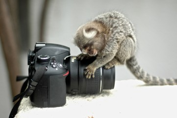Ouistiti appareil photo