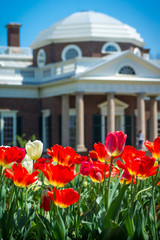 Thomas Jefferson's Red Tulips and Monticello Dome