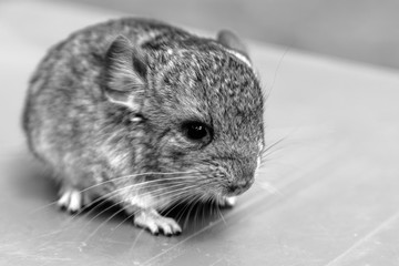The small gray chinchilla