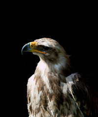 portrait of beautiful  eagle