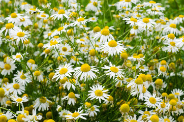 Chamomile flowers field. Background with beautiful blooming medical chamomiles. Alternative medicine and natural health care concept. Selective focus.