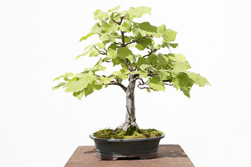 Common hazel (corylus avellana) bonsai on a wooden table and white background