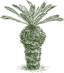 sketch of a young palm tree