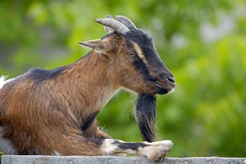 Portrait of Domestic Goat resting