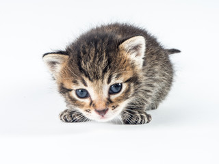 A cute little kitty with big blue eyes, posing on a white background