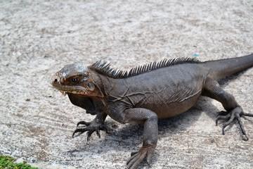 Iguane sur une plage à Petite Terre