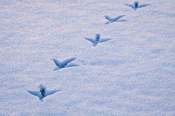 Line of footprints in snow left by heron bird.