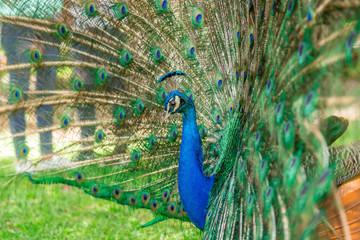 Fotobehang Pauw Peacock in the Park