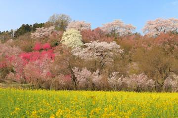 花見山(福島市)
