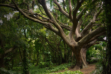 Old tree stock images. Exotic nature in Hawaii. Rain forest picture