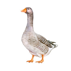 realistic illustration of a domestic goose isolated on white background. Watercolor