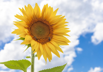 Sunflower and insects  Nature yellow flower and sky Background