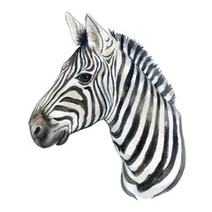 Portraitof a zebra horse isolated on white background. Watercolor Illustration. Template. A realistic characteristic zebra. Handmade