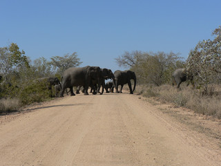 Éléphants dans le parc Kruger-Afrique du sud