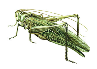 Grasshopper watercolor illustration. Realistic watercolor painting on white background. Grasshopper isolated on white background.