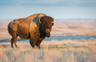 Canvas Prints Bison Bison