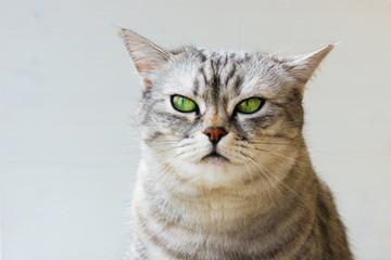 Beautiful gray British cat on white background