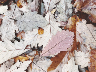 Close up of wet Chestnut oak leaves in autumn