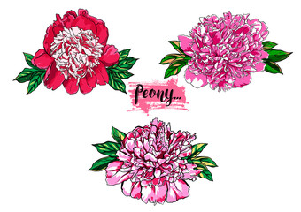 Hand drawn peony flower vector set illustration.