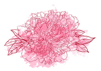 Hand drawn peony flower vector illustration.