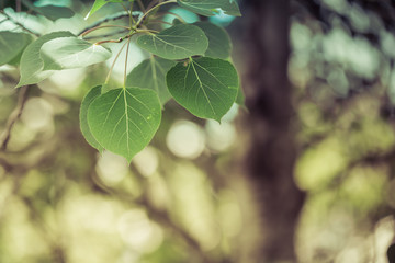 Trembling Aspen Leaves with Soft Background