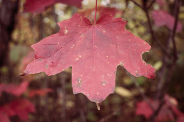 Single Sugar Maple Leaf in Autumn