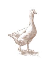 White live goose