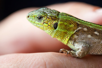 Green lizard macro view. shallow depth of field, soft focus