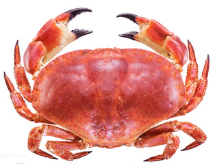 Cooked brown crab or edible crab.