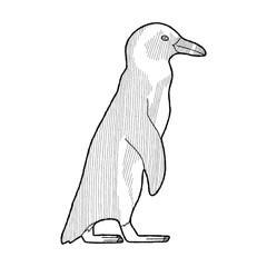 African Penguin Vector Animal Cartoon Art
