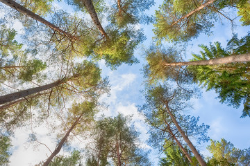 View up at the crowns of the pine trees