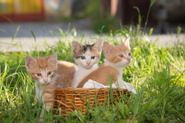 Group of three beautiful kittens in the basket