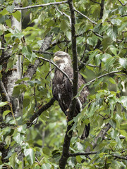 A juvenile Bald Eagle stations itself along the Salmon River in anticipations of fresh pink salmon scrapes left by the wild bears at the Fish Creek Wildlife Observation Site, Hyder Alaska