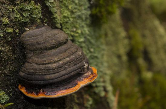chaga mushroom on the tree