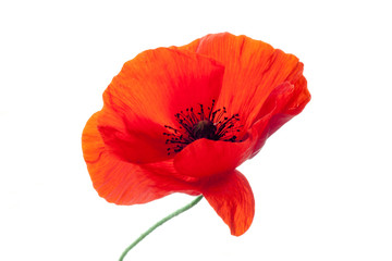 Poster Poppy wonderful isolated red poppy flower, white background. studio shot, closeup