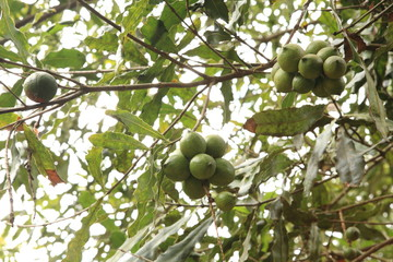 Macadamia Nuts in Guatemala