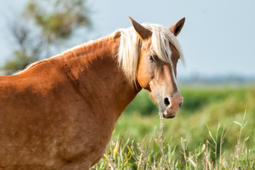 Portrait of a brown horse in Camargue National Park, France