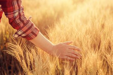 Female farmer touching wheat crop ears in field