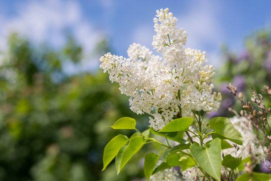 Serviceberry tree blossom at Summer