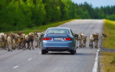 Reindeer herd is stopping the car in Lapland, Finland