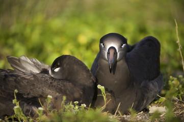 Black-footed Albatross (Phoebastria nigripes), Midway Atoll, Northwestern Hawaiian Islands