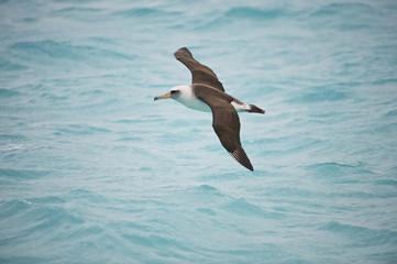 Laysan Albatross (Phoebastria immutabilis), in flight, Midway Atoll, Northwestern Hawaiian Islands
