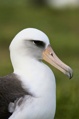 Laysan Albatross (Phoebastria immutabilis) adult at nest, Midway Atoll, Northwestern Hawaiian Islands
