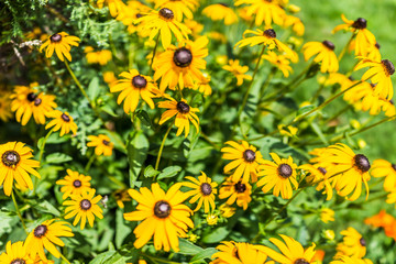 Closeup pattern of many yellow black eyed susan daisy flowers with black center heads