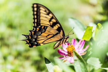 One eastern tiger swallowtail yellow butterfly on purple pink zinnia flowers in summer garden macro closeup